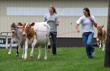 4-H-ers exercising their frisky calves at the Cayuga County Fair